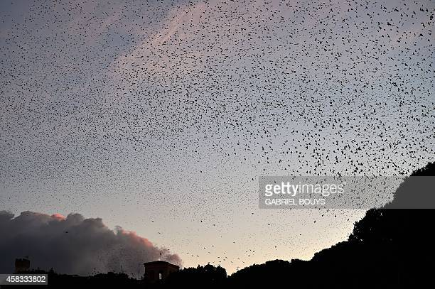 Starlings migrating from northern Europe fly over Rome on November 3 2014 About onemillion starlings migrate in Rome during autumn and winter time...