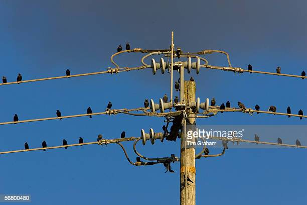 Starlings perched on power lines in the Napa Valley California United States of America