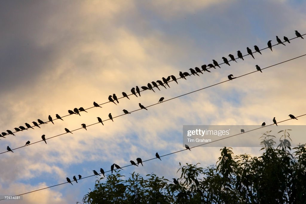 Starlings Queensland Australia Avian Flu Bird Flu virus could spread to wild birds