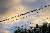 Starlings Queensland Australia Avian Flu Bird Flu virus could spread to wild birds