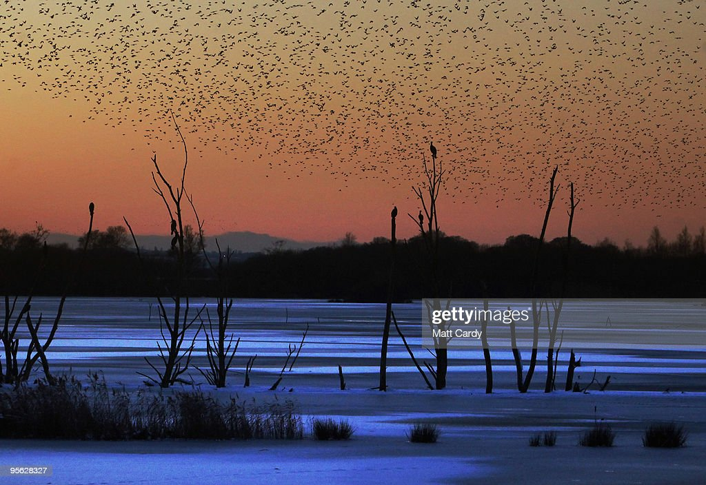 Starlings return to roost on the Somerset Levels near Glastonbury on January 7, 2010 in Somerset, England. The MET office confirmed that the Christmas period has been the coldest for 25 years with temperatures as low as -17C being recorded. Snow and ice continue to cause problems across the UK with many roads and schools remaining closed, and forecasters warning temperatures could plunge as low as -20C overnight.