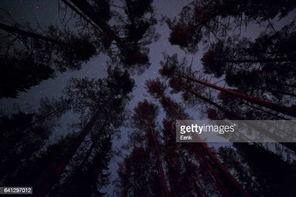 Stars above pine forest