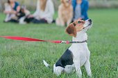 Cute beagle breed puppy with a red leash and collar sitting in the grass looking up at his owner while the rest of the dog obedience class sits in the background in a line.