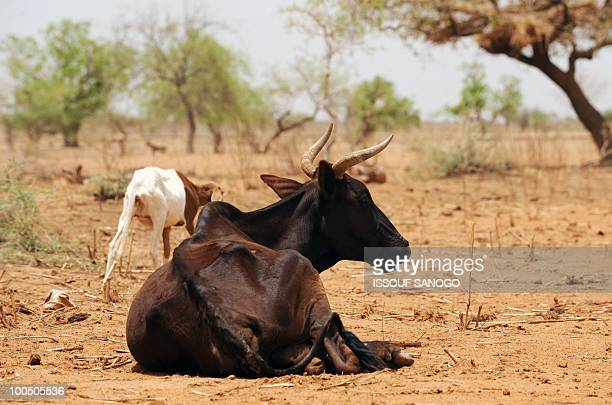 Starving cows are seen near Ouahigouya north of Burkina Faso on May 9 2010 The government of Burkina Faso implemented food sales in April in the...