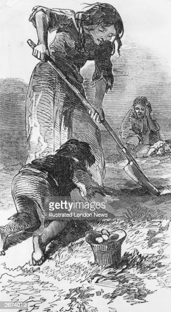 Starving people searching for potatoes in a stubble field during The Great Famine which was caused by the failure of the Irish potato crop and...