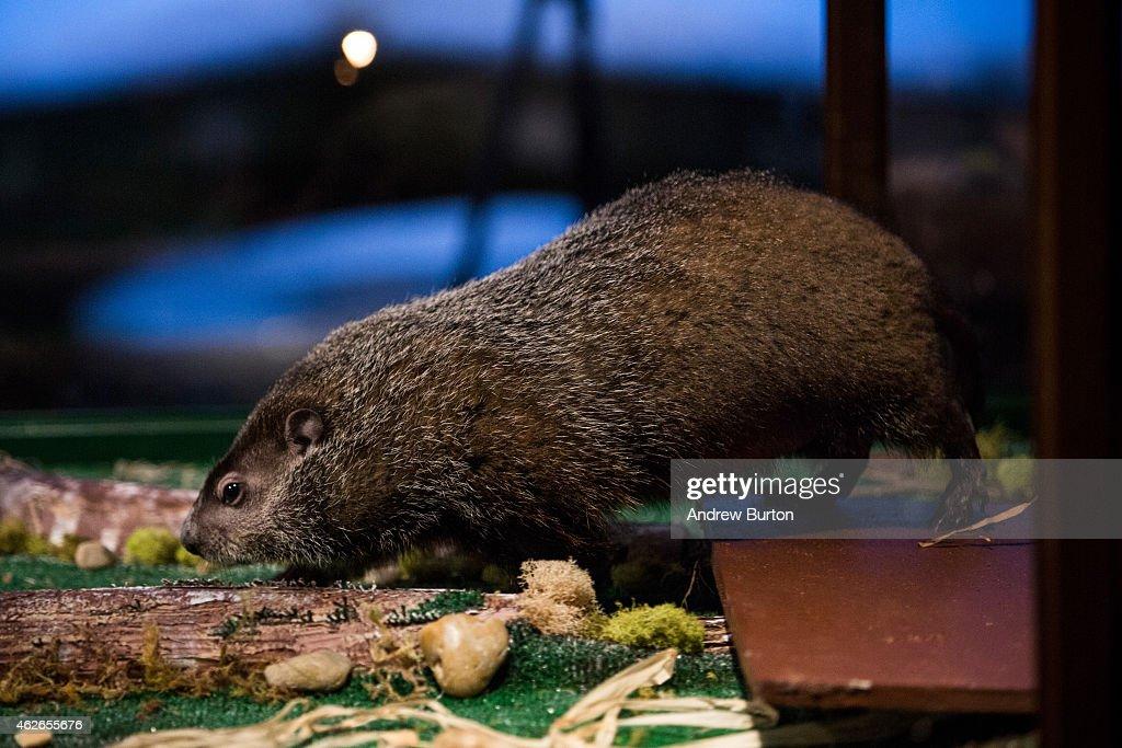 Staten Island Groundhog