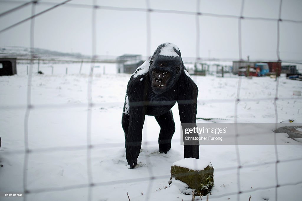 A statue of a gorilla stands at the entrance to the Peter Boddy slaughterhouse which was raided as part of the police inquiry into the sale of horsemeat being sold as beef on February 13, 2013 in Todmorden, England. Officials searching for the source of horsemeat being passed off as beef have raided two meat plants in the United Kingdom. Police and officials from The British Food Standards Agency entered the Peter Boddy slaughterhouse in Todmorden which is suspected to have supplied horse carcasses to Farmbox Meats in Aberystwyth, Wales.