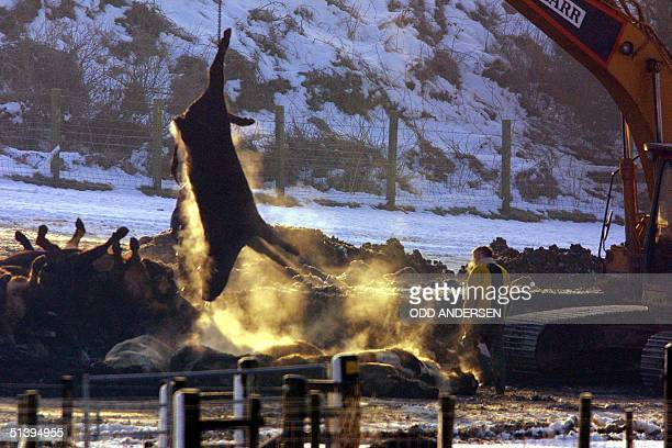 Steam rises from a freshly cullled cattle as the carcasse is lifted onto a bed of coal and straw to be incinerated 03 March 2001 in the fields of...