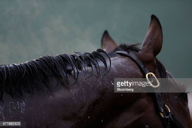 Steam rises from the mane of a thoroughbred racehorse during a postworkout bath at Churchill Downs on the morning of the 141st Kentucky Derby in...