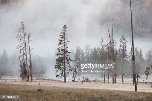 Steam risin through conifer trees, Wyoming, USA : Stock Photo