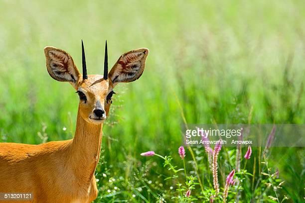 Steenbok in Etosha