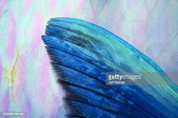 Steephead parrotfish (Scarus microhinos) pectoral fin, detail