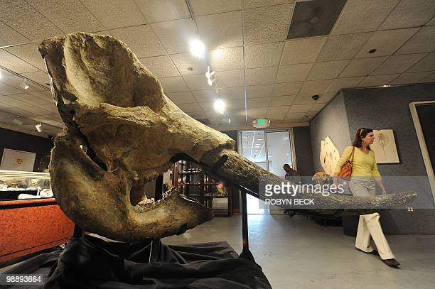 A stegodon skull from the Pleistocene epoch is on display before sale at auction May 6 2010 in Los Angeles Bonhams Butterfields upcoming National...