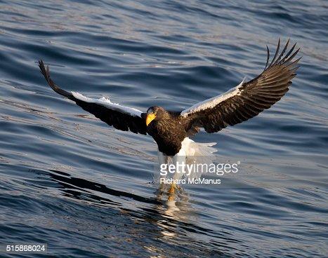 Steller's sea eagle fishing in Rausu harbour.