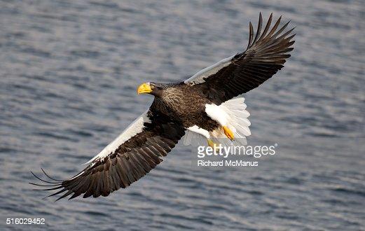 Steller's sea eagle flying in Rausu harbour.