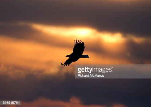 Steller's sea eagle flying over Rausu harbour.