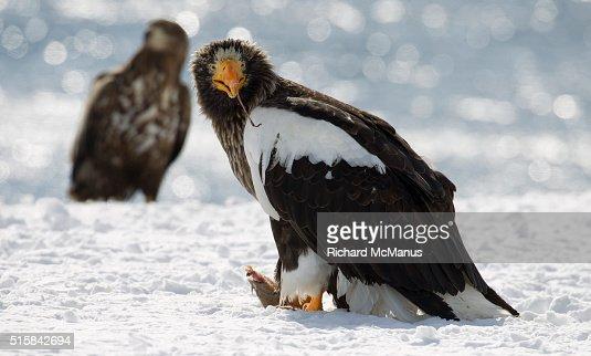 Steller's sea eagle on snow at Rausu harbour.