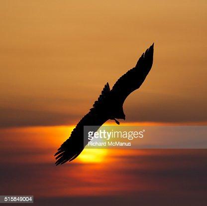 Steller's sea eagles flying over Rausu harbour.