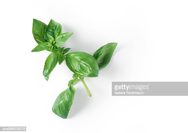 Stem of fresh basil, close-up