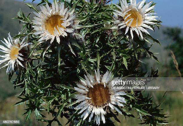 Stemless carline thistle Dwarf carline thistle or Silver thistle Asteraceae Abruzzo National Park Italy