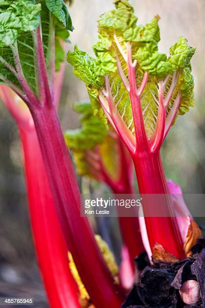 Stems of forced rhubarb
