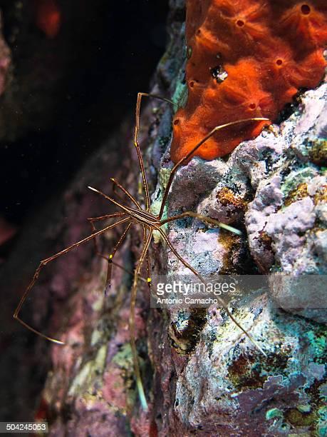 Stenorhynchus lanceolatus