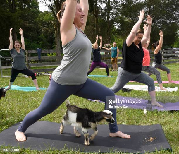 Stephanie Lefler shares a yogo mat with a Pygmy goat during goat yoga at Lil' Holler Farm near Westminster June 3 2017