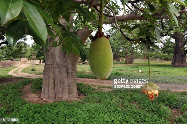 Stephanie van den Berg A fruit from a Boabab tree hangs from a branch on July 25 2008 in the village of Thiawe Thiawe In Senegal villagers have...