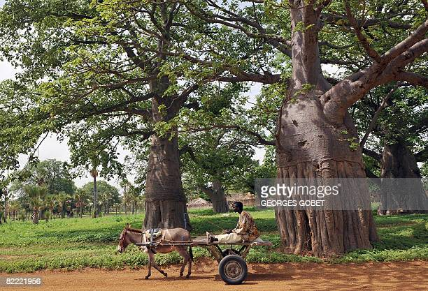 Stephanie van den Berg A man on a cart heads down a road lined with Baobab trees also known as the 'tree of life' in Fandene on July 25 2008 In...