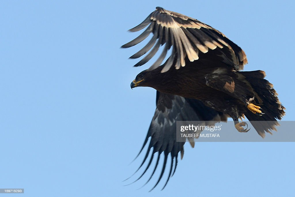 A Steppe Eagle takes flight near the India-Pakistan border in Gharana, some 35 kms southwest of Jammu, on January 19, 2013. On both sides of the de facto border in Kashmir, villagers living on one of the world's most dangerous flashpoints have special reason to fear the return of tension between India and Pakistan. The spike in cross-border firing in Kashmir -- a region claimed wholly by both India and Pakistan -- has seen five soldiers killed in recent days and threatened to unravel a fragile peace process that had begun to make progress. AFP PHOTO/Tauseef MUSTAFA