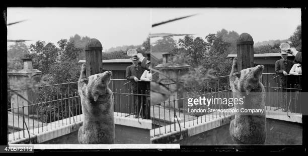 A stereoscopic image of a bear climbing a pole to reach a biscuit proffered by a keeper at London Zoo Regents Park London circa 1910
