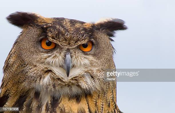A stern looking brown eagle owl