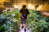 Steve Herin Master Grower at Incredibles works on repotting marijuana plants in the grow facility on Wednesday August 13 2014 in Denver Colorado...