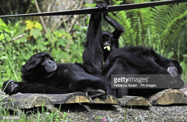 Steve the Gibbon with mate Lisa and nine month old baby Bryn at Anna's Welsh Zoo Near Tenby Pembrokeshire