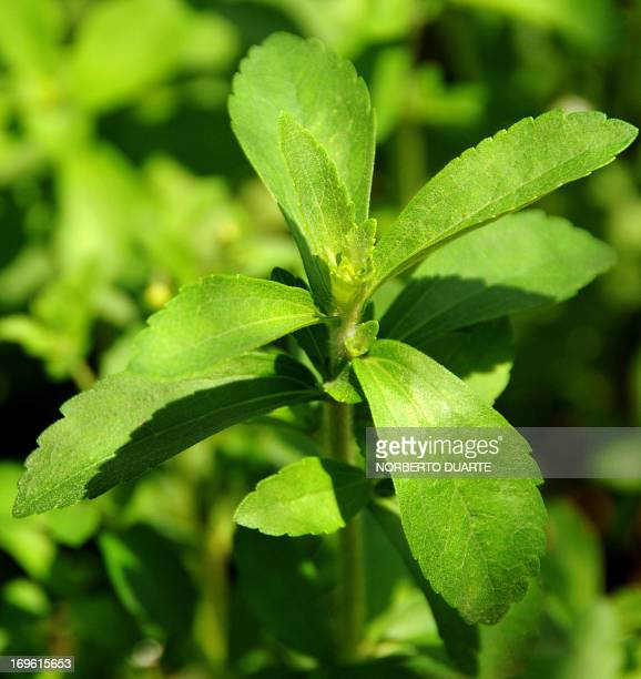 A stevia plant known as 'sweet herb' or 'ka´a he´e' in the native Guarani language is seen in a plantation in Caacupe 50 kms east of Asuncion...