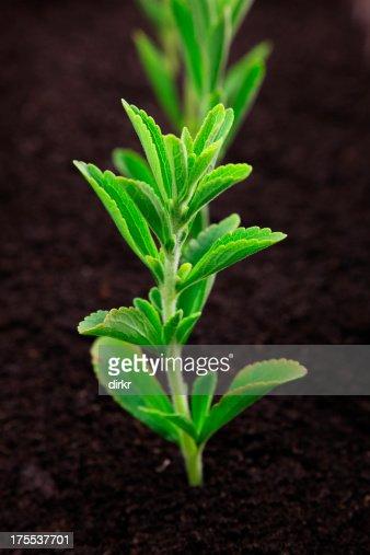 Stevia foto e immagini stock getty images for Stevia pianta