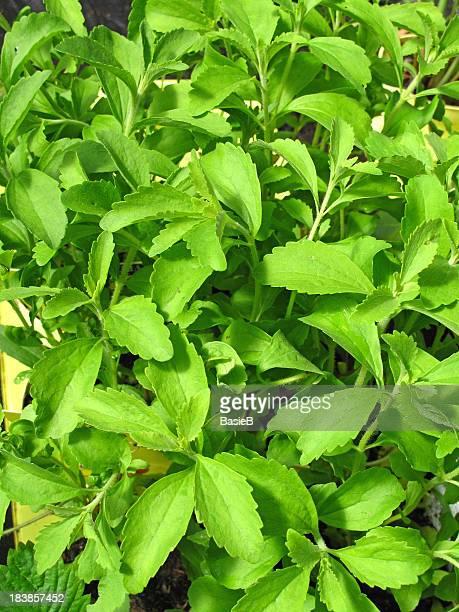 Stevia rebaudiana
