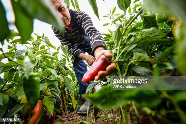 BRIEN Stevica Markovic harvests his own grown peppers in Brestovac village near the south Serbian town of Leskovac on September 25 2017 It's a source...