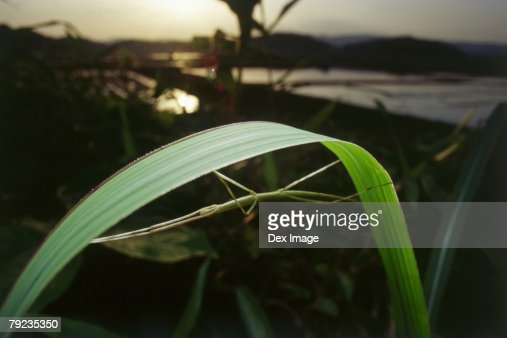 Stick insect camouflage on blade of grass : Stock Photo
