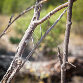 Camouflaged stick insect bug on a branch tree close up shot