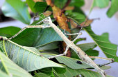 Stick insect on a plant (Centema spinosissimum), aka walking stick, stick-bug, phasmid or ghost insect (Bali, Indonesia) - photo by M.Torres