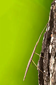Stick Insect on the trunk. Green background.