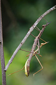 Two Phasmatodea, or stick insects, mate while hanging from a tree branch near Santiago de Chiquitos, Bolivia.