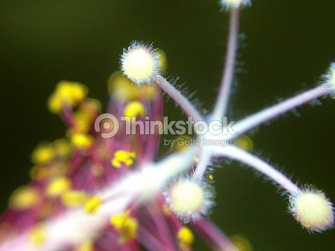 Stigma Pads And Pollen Sacs Of A Hibiscus Flower Stock Photo