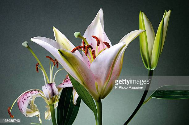 Still from a time lapse photography shoot of a bouquet of stargazer lilies slowly opening taken on February 4 2012