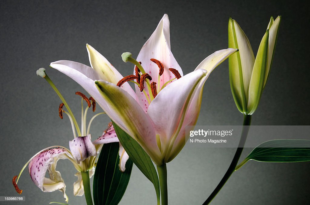 Still from a time lapse photography shoot of a bouquet of stargazer lilies slowly opening, taken on February 4, 2012.