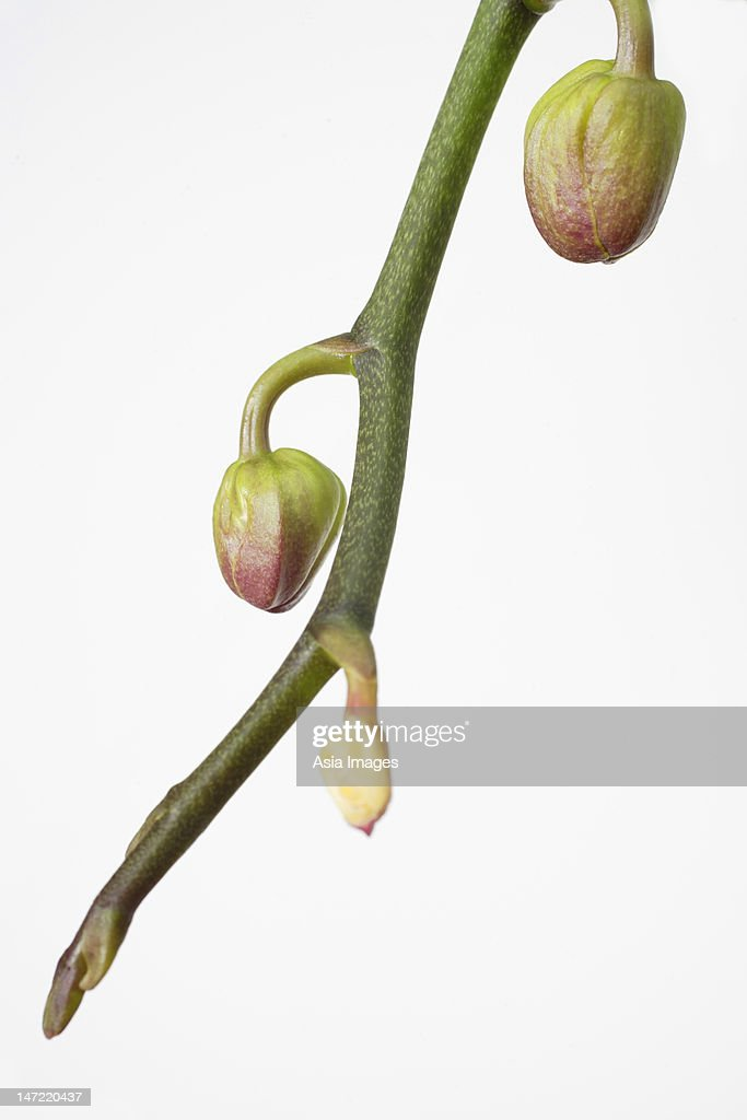 Still life of branch of phalaenopsis orchid buds