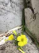 Flower grows along cracks in a fence and pavement
