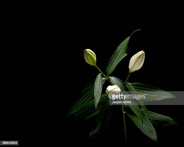 Still-life shot of un-opened lilies