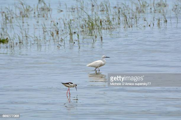 Stilt and little egret on the shallow shores of Lake Victoria
